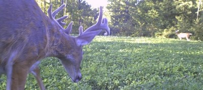 Food Plots for Whitetail Deer Hunting
