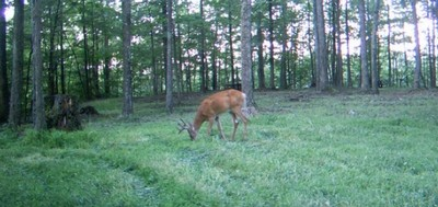 Food Plots for Whitetail Deer in Texas