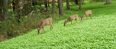 Food Plots for Whitetail Deer in Wisconsin