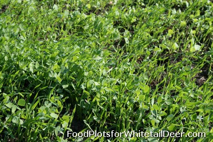Winter Food Plots for Whitetail Deer in Texas