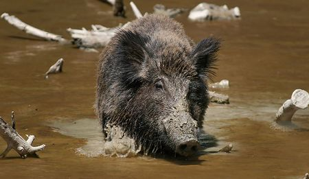 A feral hog cools off in some muddy water.