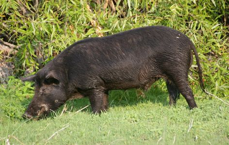 Feral hogs are both loved and hated.