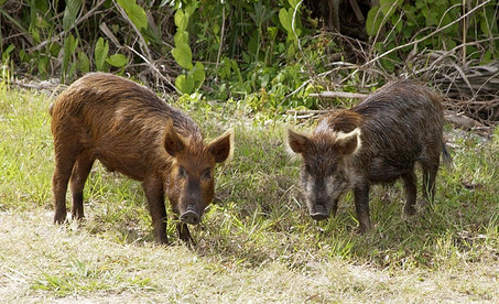 A pair of feral hogs