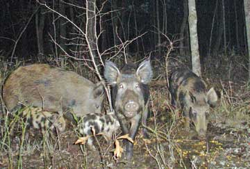 Feral hogs pose serious impacts to native wildlife and habitat.