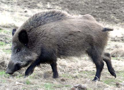 European or Russian Wild Boar