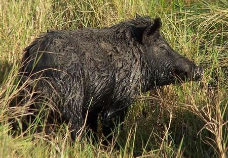 A feral hog after wallowing in the mud.