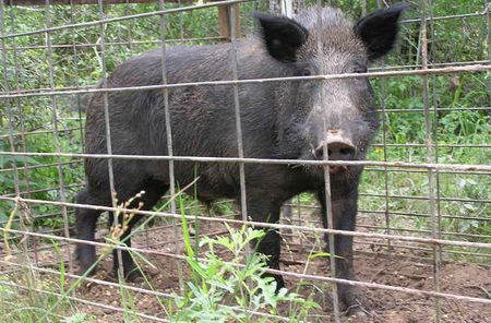 Feral hog in a trap.