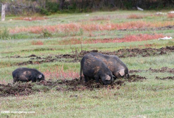 Clay Pigeons and Feral Hog Control - Hog Hunting