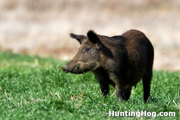 Feral Hogs and PEDV