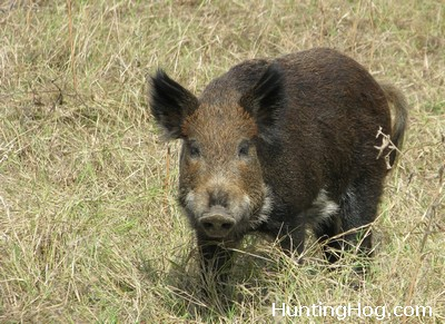 Hog Hunting - Feral Hog Hunting Tips