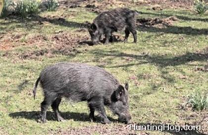 Feral Hog Control for Pond Management