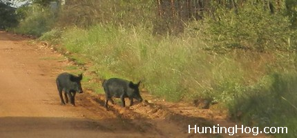 Using Bait for Hog Trapping and Hunting
