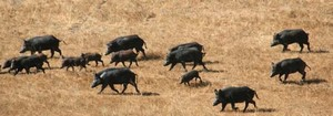 Hog Hunting Tips