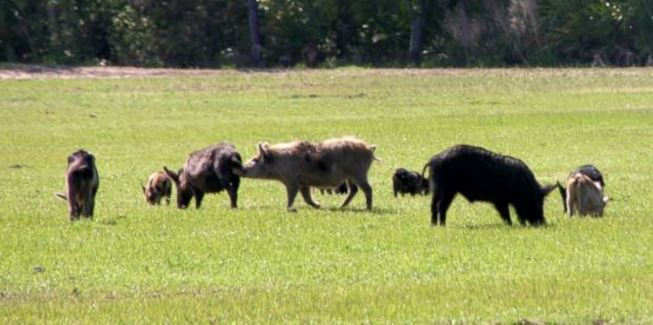 Is Sodium Nitrite Effective for Controlling Feral Hogs
