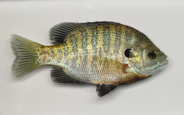 Too many bluegill can disrupt your pond management goals.