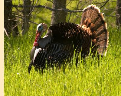 Turkey Habitat Management