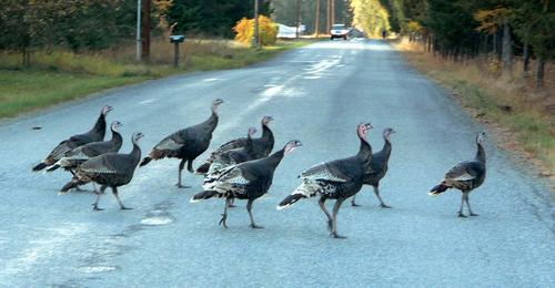 Turkeys are vulnerable to poaching