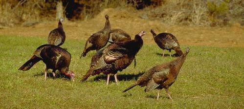 Impact of Predators on Wild Turkey