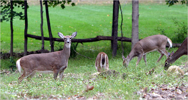 Bowhunting can help control urban deer populations