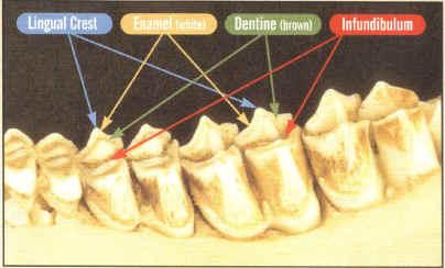 aging-deer-by-tooth-wear-01