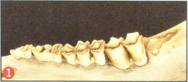 aging-deer-by-tooth-wear-02