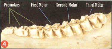aging-deer-by-tooth-wear-05