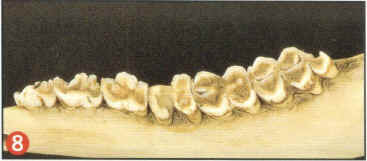 aging-deer-by-tooth-wear-09