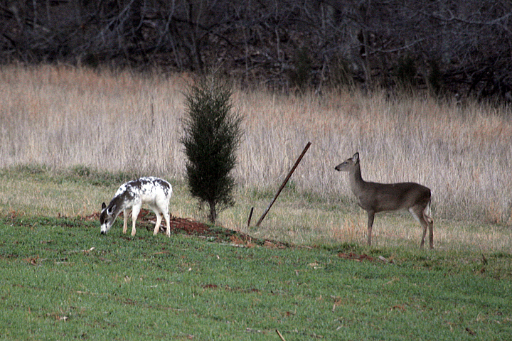 A piebald and normally colored white-tailed deer.