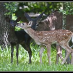 Black Whitetail Deer Fawn