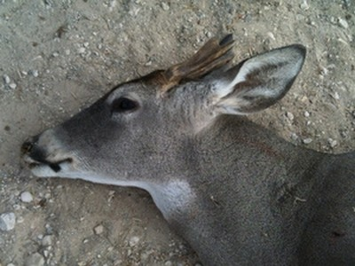 Early Antler Shedding by Bucks in Texas