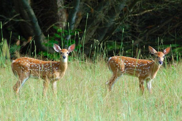 How Many Fawns do Whitetail Deer Does Have?
