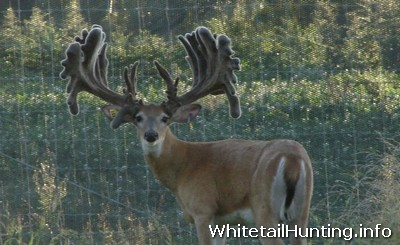 Whitetail Deer for Sale - Deer Smuggling - Deer Breeding in Texas