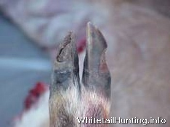 Blue Tongue and EHD: Swollen Tongues and Peeling Hooves