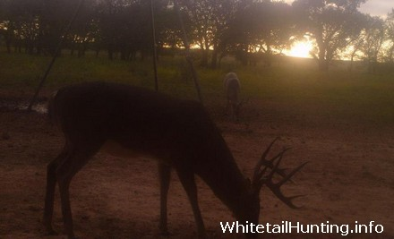 Whitetail Deer Hunting in Atascosa County, South Texas