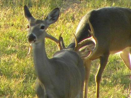 Image Gallery deer reproduction