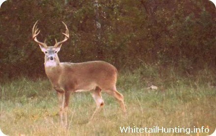 Whitetail Deer Rut in Brown County Texas