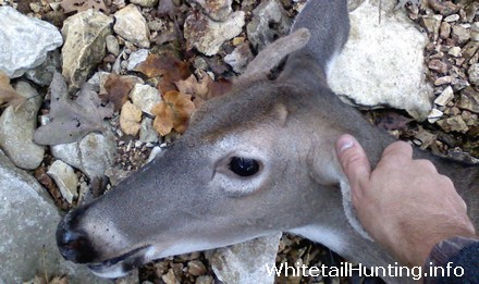 Whitetail Doe with Antlers, Horns
