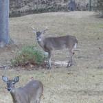 dark-spots-deer-buck-legs-020415
