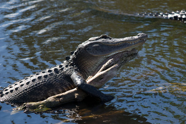 An alligator sunning on a log