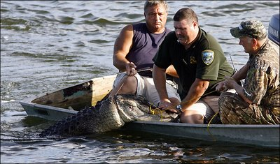 An alligator is brought in by hunters