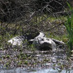 Nuisance Alligator Control Permit: Alligator Hunting in Texas
