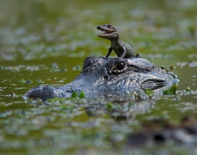 Female alligator with a hatchling