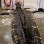 Big South Carolina Alligator