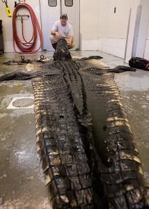 Big South Carolina Alligator Alligator Hunting