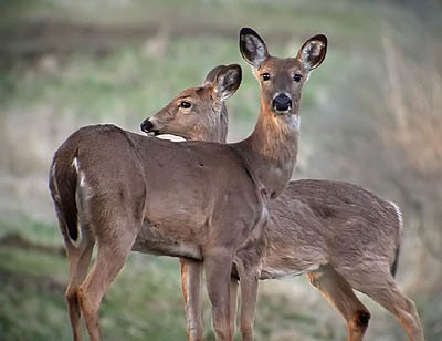 Whitetail Deer Management Plan