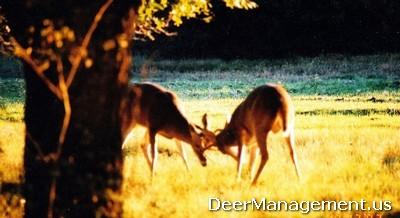 Whitetail Deer Rut: Testosterone Poisoning of Bucks | Deer Management