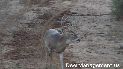 Whitetail Deer Management in South Texas