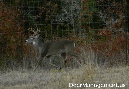 Whitetail Deer Management, High Fences, Ranch Size and Inbreeding in Deer