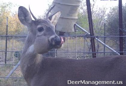 Deer with Swollen Jaw, Cheek