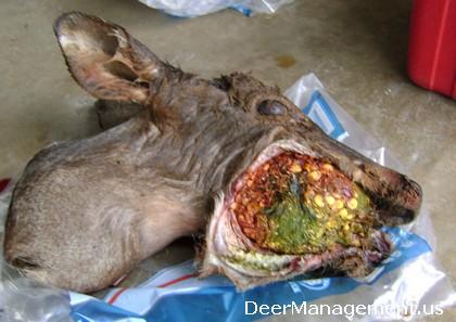 Deer with Swollen Cheek, Jaw, Food Impaction